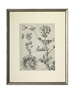 1903 Geranium Botanical Drawings