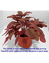 SEED Seller: Red Leaf Vegetable Amaranthus spp, Laal Saag Seeds AR-1. Maroon red leaves, Fast growing, High yielding, Photoinsensitive variety suitable for Multi cut and once over harvests: 40 Grams (12000 Plus Seeds)