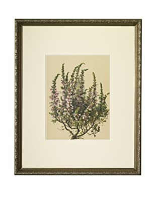 1903 Heath Botanical Chromolithograph