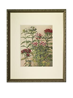 1903 Sweet William Botanical Chromolithograph