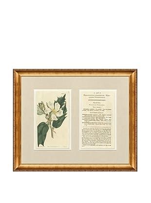 1813 Antique Hand Colored White Botanical with Description