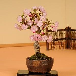 盆栽:一才桜(信楽焼小鉢)