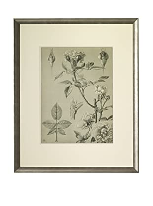 1903 Rose Botanical Drawings