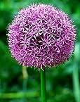 Allium Flower Bulbs Pack