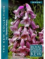 Royal Empress Tree 50 Seeds - Paulownia - Tropical