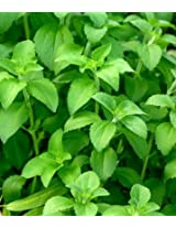 Stevia Medicinal Plants Seeds.
