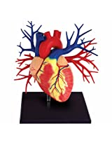 Deluxe Lifesize Heart Model With 20 Detachable Parts (Age 8+)