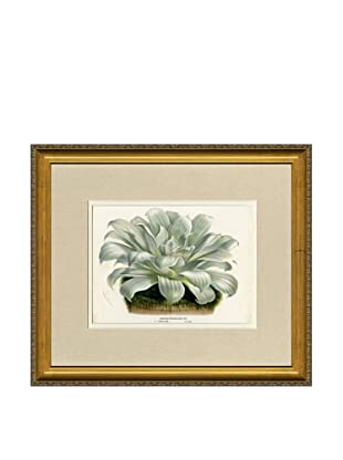 Vintage Print Gallery Antique Hand-Finished Echeveria Print, Circa 1850's