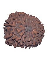 12 Mukhi Rudraksha Java 16.87mm Lab Certified