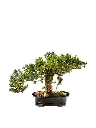 Forever Green Art Handmade Single Monterey Bonsai Tree