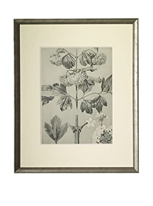 1903 Snowball Botanical Drawings