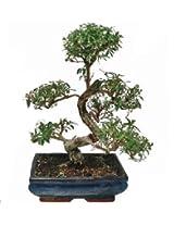 serssa 15cm GGI095 Bonsai plant