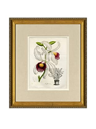 Vintage Print Gallery Antique Hand-Finished Laelia Print, Circa 1850's