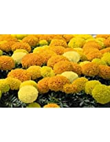 African Marigold F1 Hybrid INCA Type Flower Seeds by Kraft Seeds