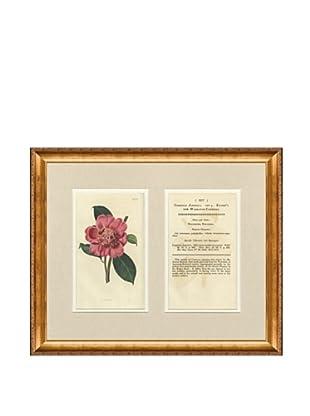 1825 Antique Hand Colored Pink Botanical with Description