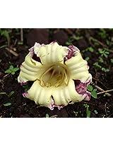 SEED Seller: Rare seeds of Oroxylum indicum Indian trumpet flower for growing. A medicinal, ornamental, flowering plant known as Aralu, Shyonaka, Tattuna, Cori-konnai, Manduka-parnamu, Vellappathiri, Davamadak (15)