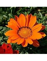 (Gazania 200 *Ambizu*) 200pcs Gazania Rigens Seeds Flowers Seeds for Bonsai Garden Balcony 2015 (Gazania 03)