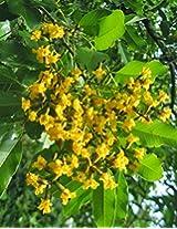 SEED Seller: Pterocarpus marsupium known as Malabar Kino, Benga, Kempu Honne tree Seeds for growing. Rare Ayurvedic Medicinal plant seeds (120)
