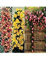 4 Color Combo,Beautiful Climbing Rose(Yellow+Pink)+Rare Rose(Red-Black+Velvet) Tree-Plant Seeds/60 Seeds, Sold By - VasuWorld
