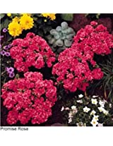 Phlox Promise Rose Flower Seeds
