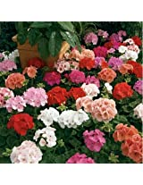 Geranium Maverick Mix Flower Seeds