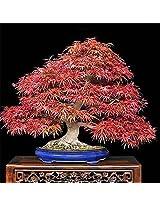 ADB Inc 50 Seeds Acer Flame Bonsai Ornimental Tree Seeds
