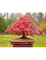 Beautiful Imported Japanese Red Maple Bonsai Tree Seeds Sold By - VasuWorld