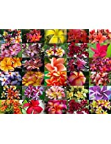 Indian Nursery Hybrid Fragrant Plumeria Cutting With Rooted Collecton Of 30 Plants -1 FT,Multicolor