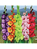 Indian Gladioli Mix Color Flower Bulbs (Pack of 25 Bulbs)