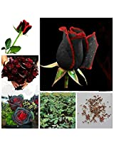 Attractive Red-Black Rose Flower Plant Seeds - Sold by Vasuworld