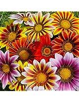 Gazania sunshine flower seeds - 1 gram