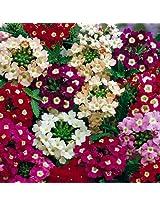 Agricart Verbena ideal florist mix