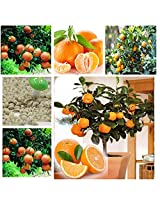 Attractive Imported Bonsai Orange Tree-Plant Seeds / 10 Pcs Sold By- VasuWorld