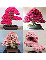 Japanese Sakura Flower Bonsai Tree Seeds+ Cherry Blossom Bonsai Tree Seeds (Total-10 Seed) --Sold By VasuWorld