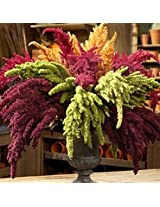 Flora Fields Amaranthus (Joseph's Coat, Fountain plant) - Pygmy Torch