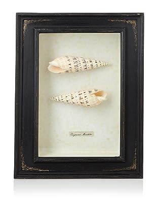 Diamond Reef Maculata Shell Shadow Box (Black)