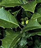 American Holly Seeds