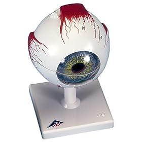 【クリックでお店のこの商品のページへ】視覚器(眼球),5倍大・6分解ジャイアントモデル