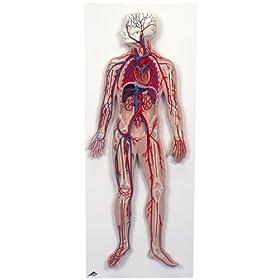 【クリックでお店のこの商品のページへ】血管系,1/2倍大モデル